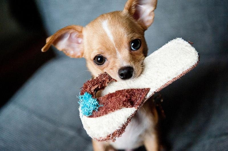 Chihuahua, Puppy, Pet, Dog, Animal, Small, Funny - Share Accommodation